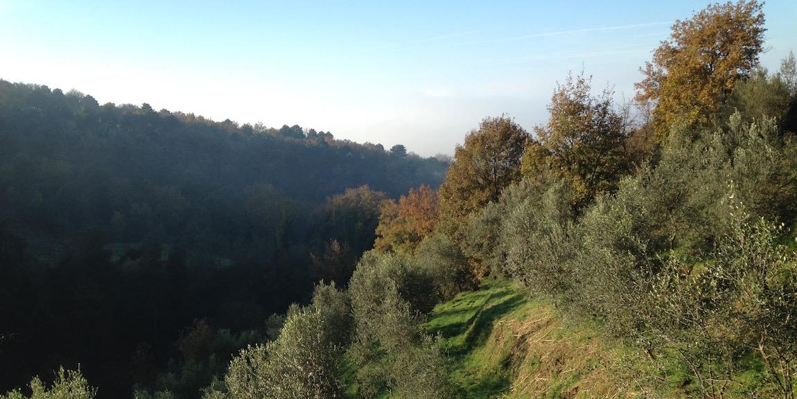 olivi davanti al bosco